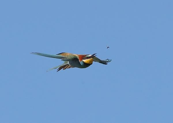 Bee Eater in Flight by NeilSchofield
