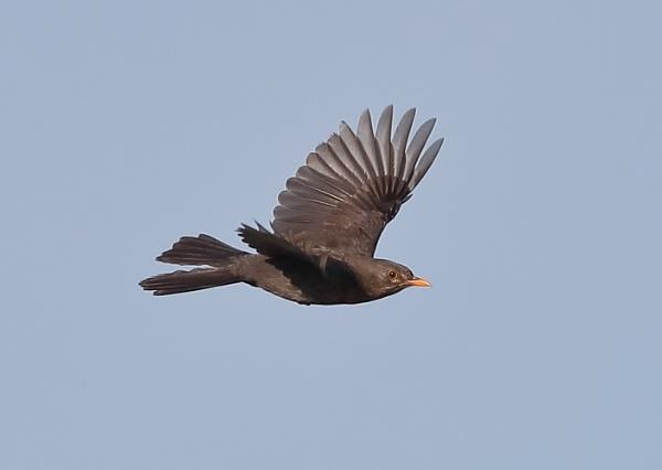 Blackbird in Flight by NeilSchofield
