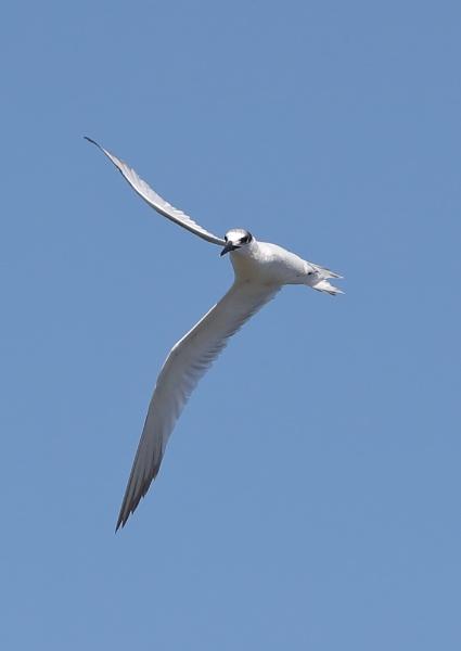 Juvenile Little Tern in Flight by NeilSchofield