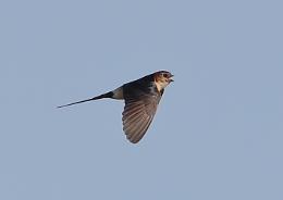 Red Rumped Swallow in Flight