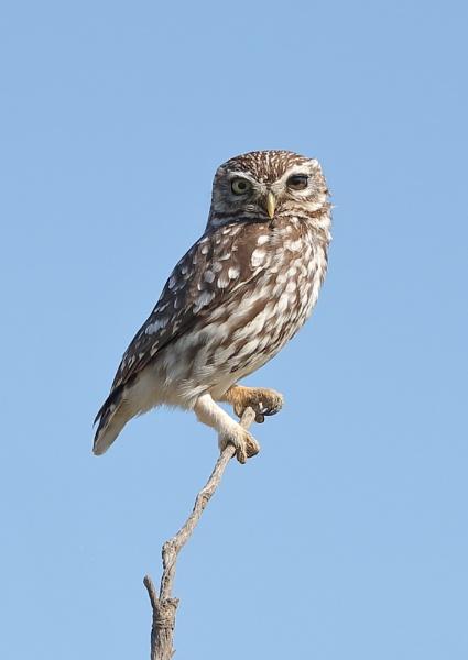Little Owl by NeilSchofield