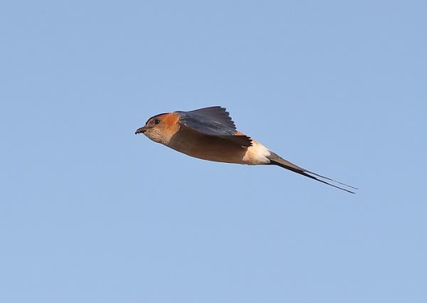 Red Rumped Swallows in Flight by NeilSchofield