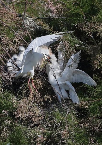 Cattle Egret Nest by NeilSchofield