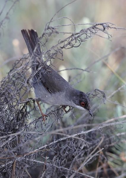 Sardinian Warbler by NeilSchofield