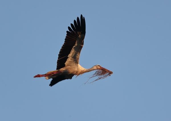 White Stork by NeilSchofield