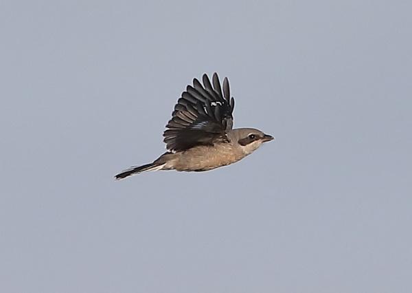 Lesser Grey Shrike in Flight by NeilSchofield
