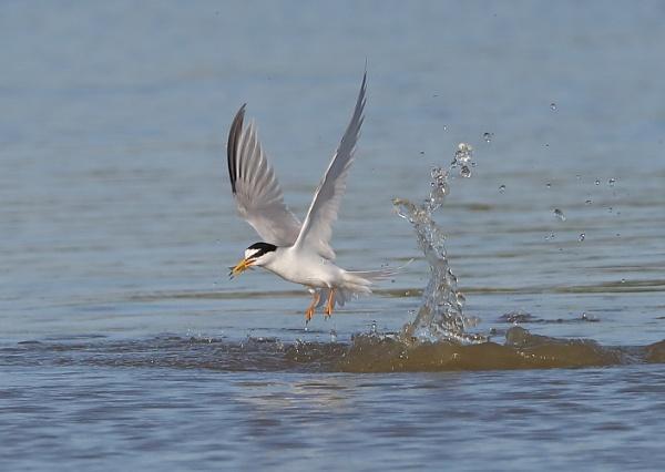 Little Tern Fishing by NeilSchofield