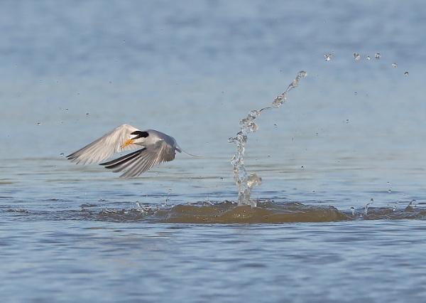 Little Tern in Flight
