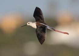 Blackwinged Stilt in Flight