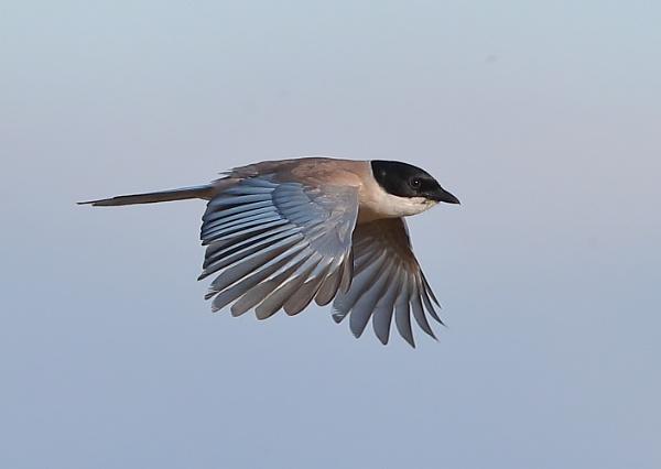 Azure Winged Magpie in Flight by NeilSchofield