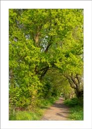 Trail Oak