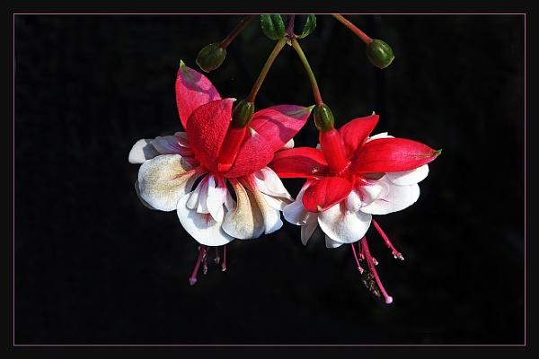Fuchsia by prabhusinha