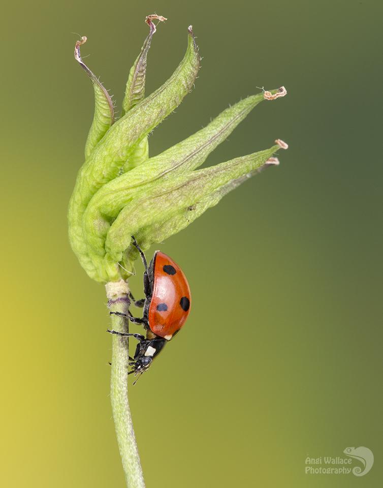 Ladybird on Aquilegia seedhead