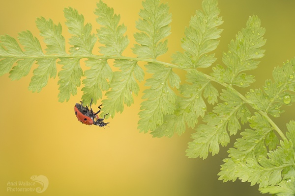 Ladybird on fern by Angi_Wallace