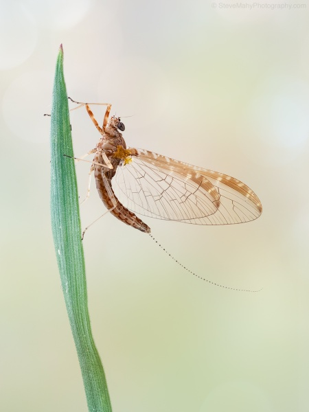 Mayfly by SWMahy