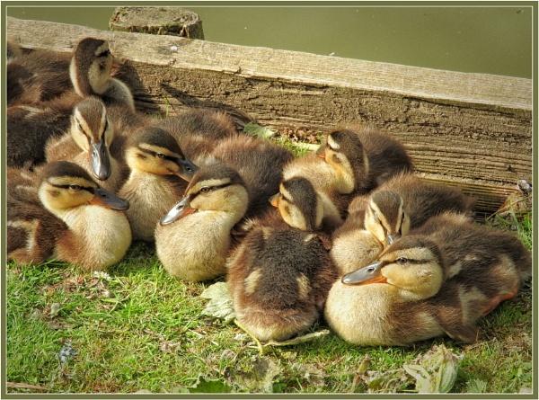 Mallard Ducklings by PhilT2