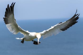 Gannet landing gear down