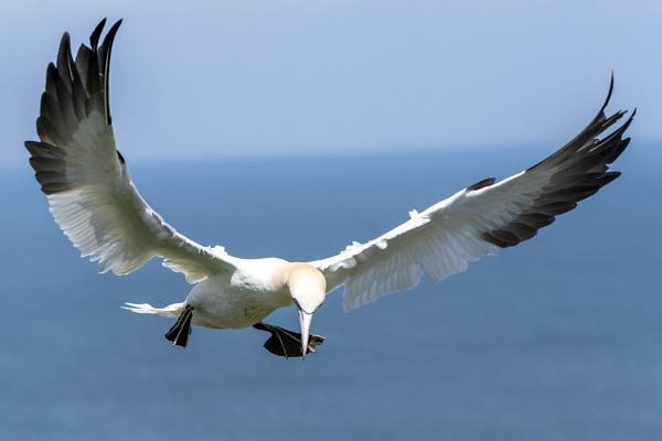Gannet landing gear down by awmcdonald