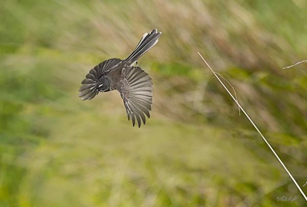 Piwakawaka (Fantail) (0783) by paulknight