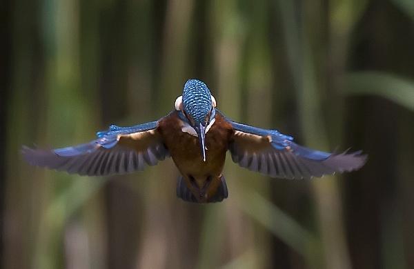 kingfisher in flight by bigjim147