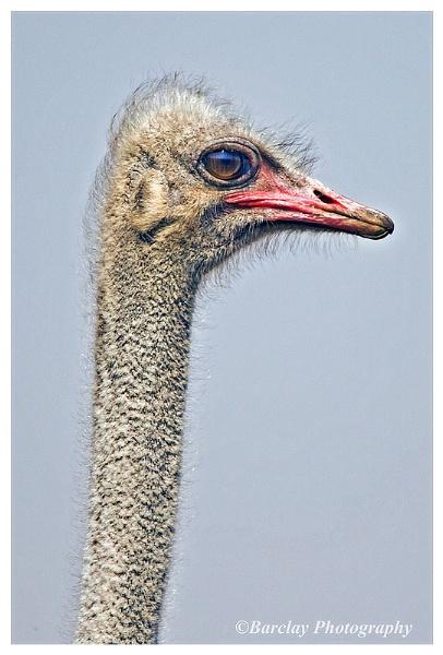 Ostrich by fatfranksfolley