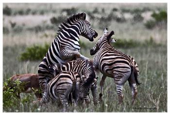 Zebra war