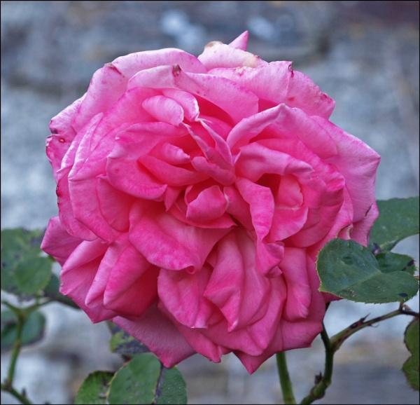 Rose in bloom by JuBarney