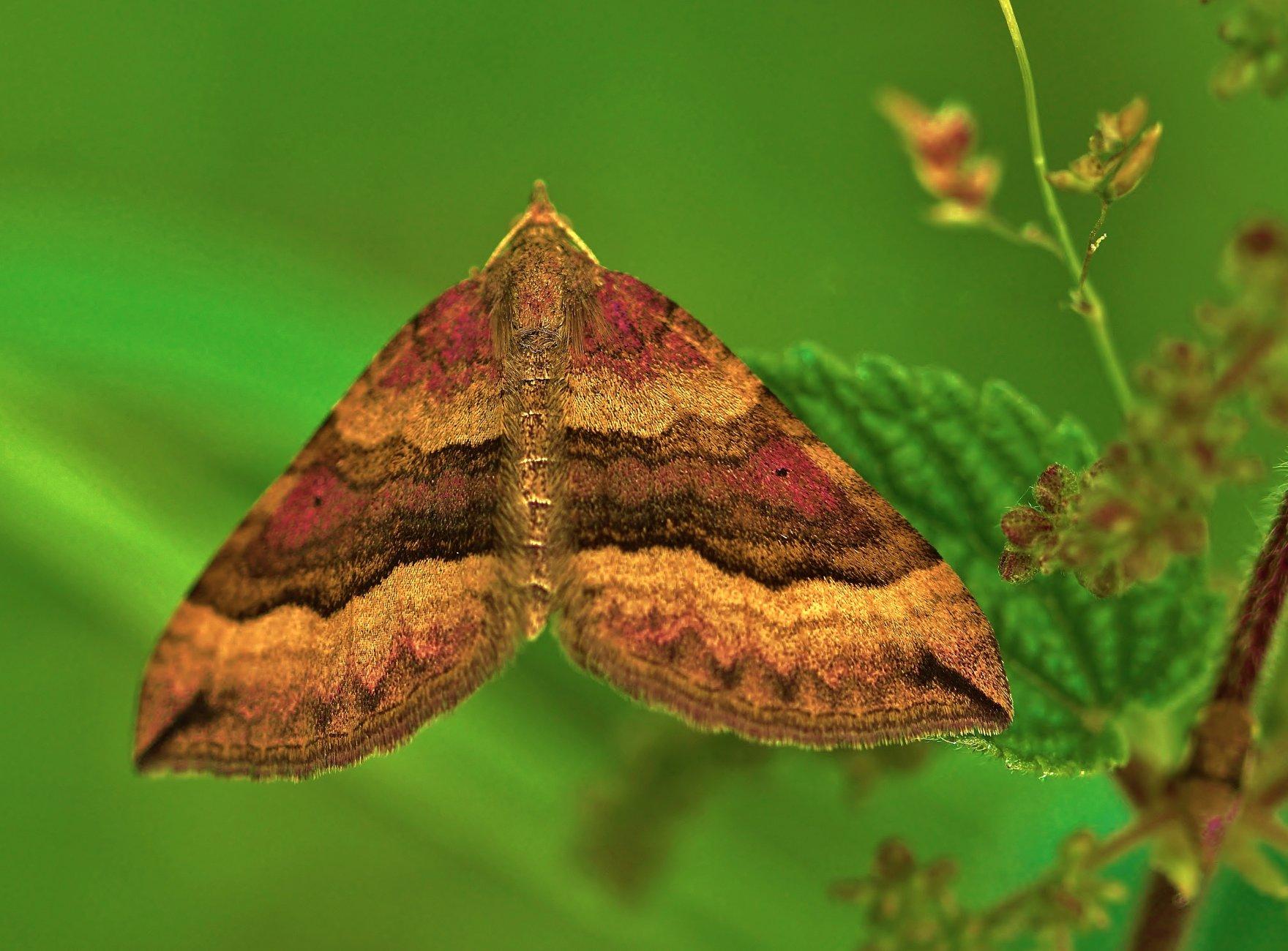 A shaded broad-bar moth macro.