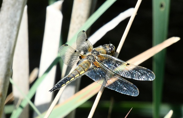 Four-spotted Chaser dragonfly by antheap