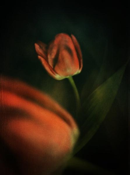Tulip by akh
