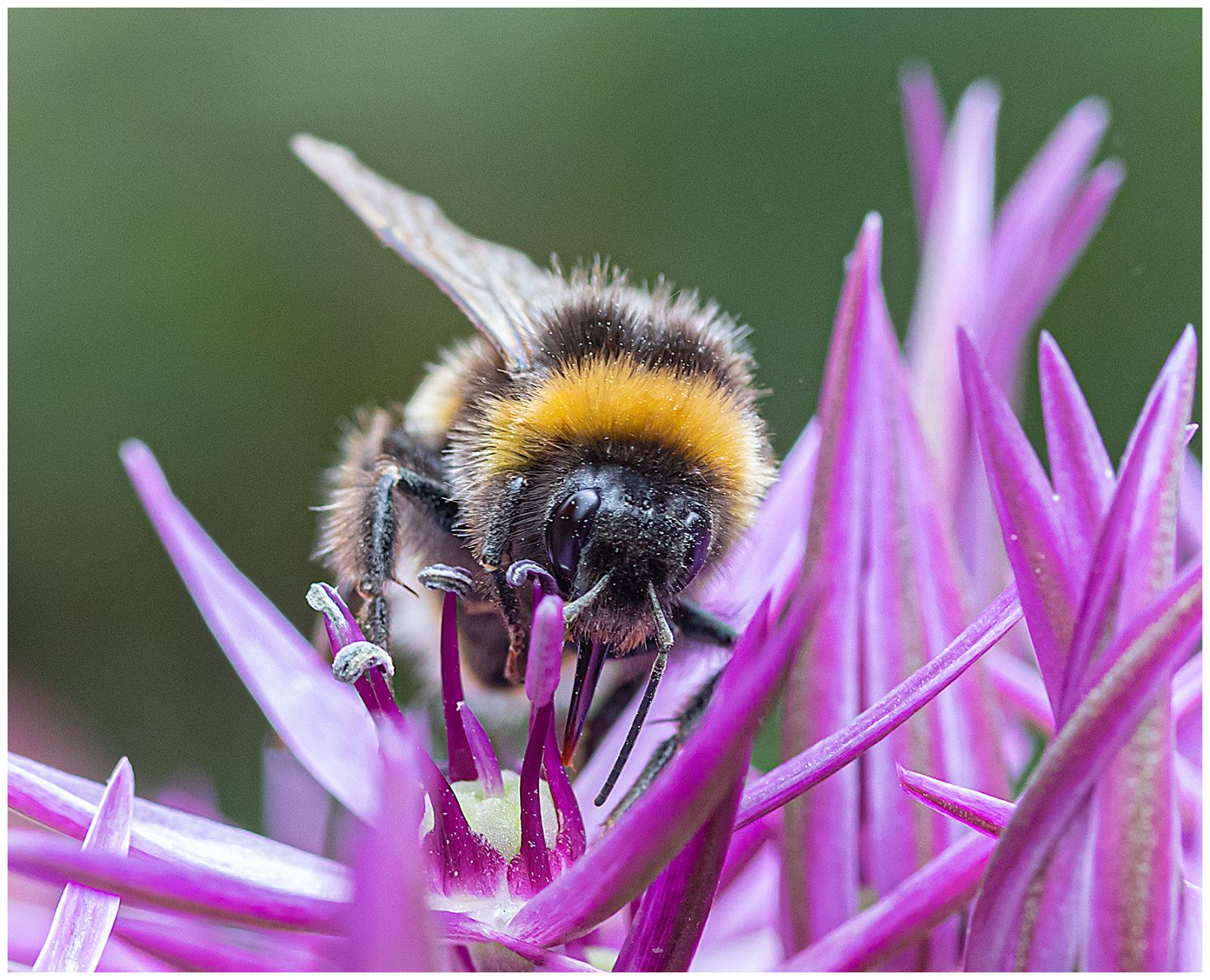 Allium Bee