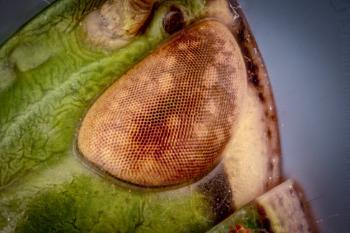 Grasshoppers eye.