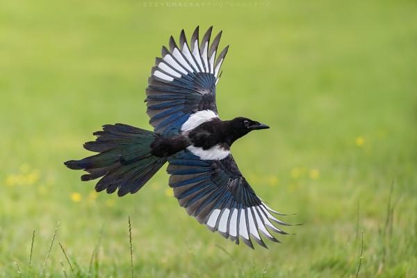 Magpie by SteveMackay