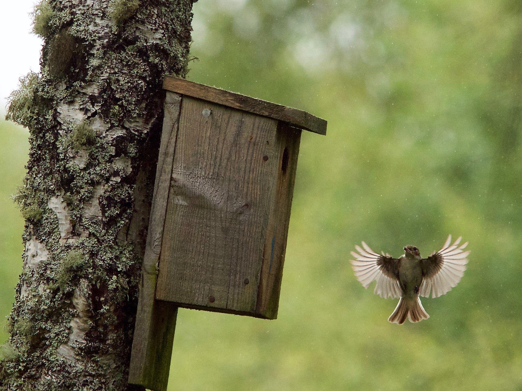 Pied flycatcher, Craigellachie birchwoods