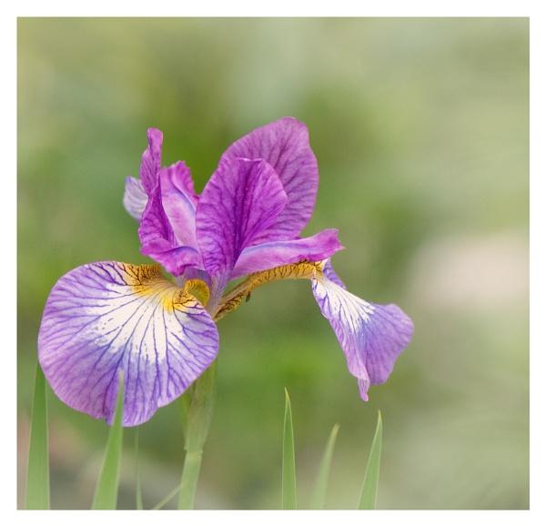 Siberian Iris by taggart
