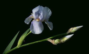 Iris on Black
