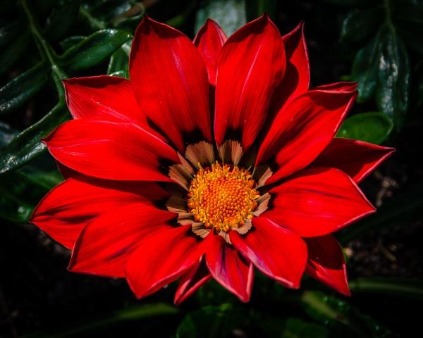 Red Gazania Flower by Gillken