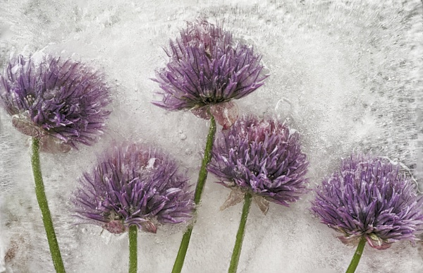 Frozen Chives Flowers #3 by iangilmour