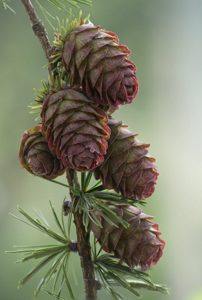 PIne Cones by iangilmour