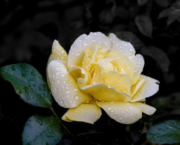 Rose & Rain by TornadoTys