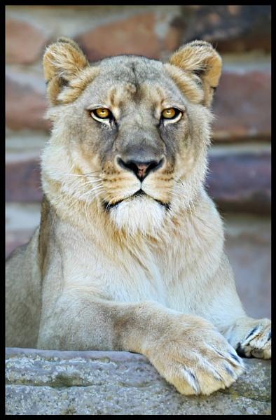 Lioness by Owdman