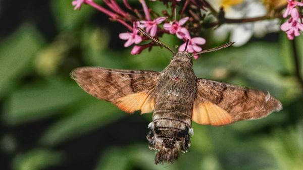 Hummingbird Hawk Moth by mikecrowley
