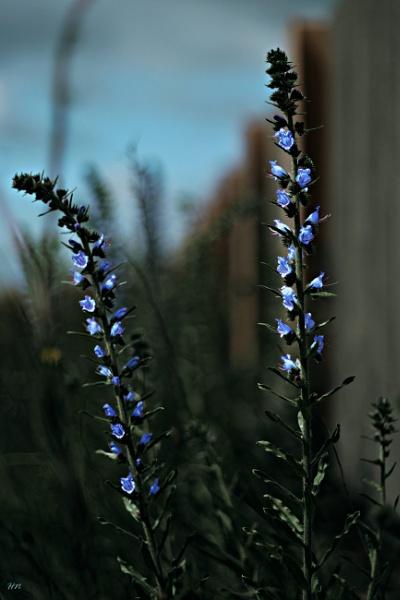 Blue Dream by HarmanNielsen