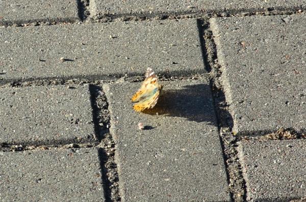 Butterfly by SauliusR