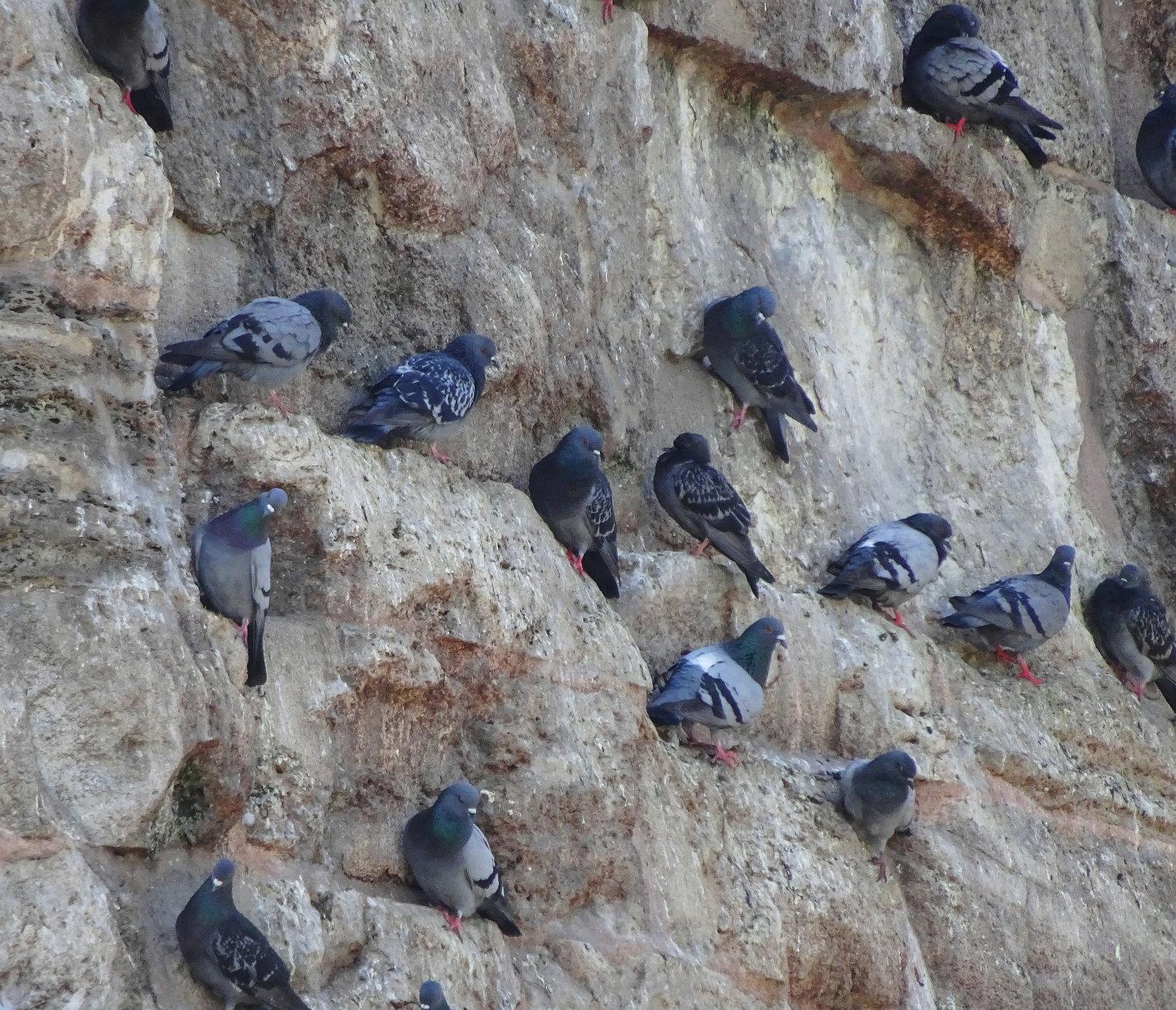 Pigeon wall