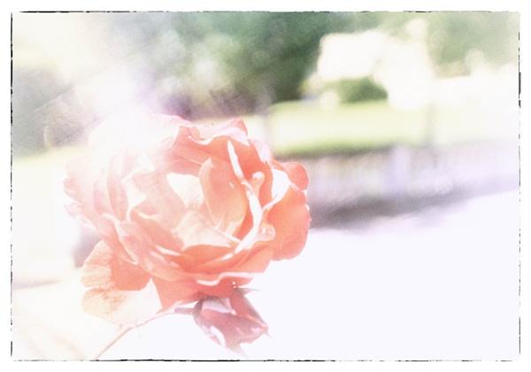 painterly rose by bornstupix2