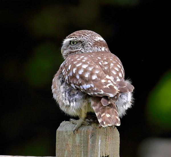 Little Owl by Juanita