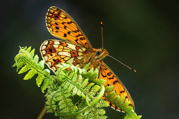 Male Small Pearl-bordered Fritillary (Boloria selene) by DerekL