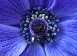 Photo : Anemone