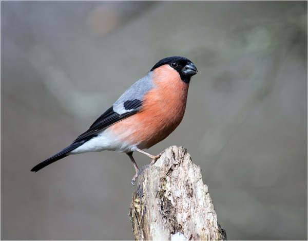 Bullfinch(Male) by dven